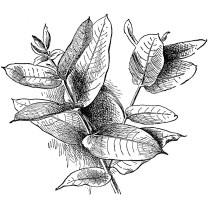 eucalyptus-gobulus