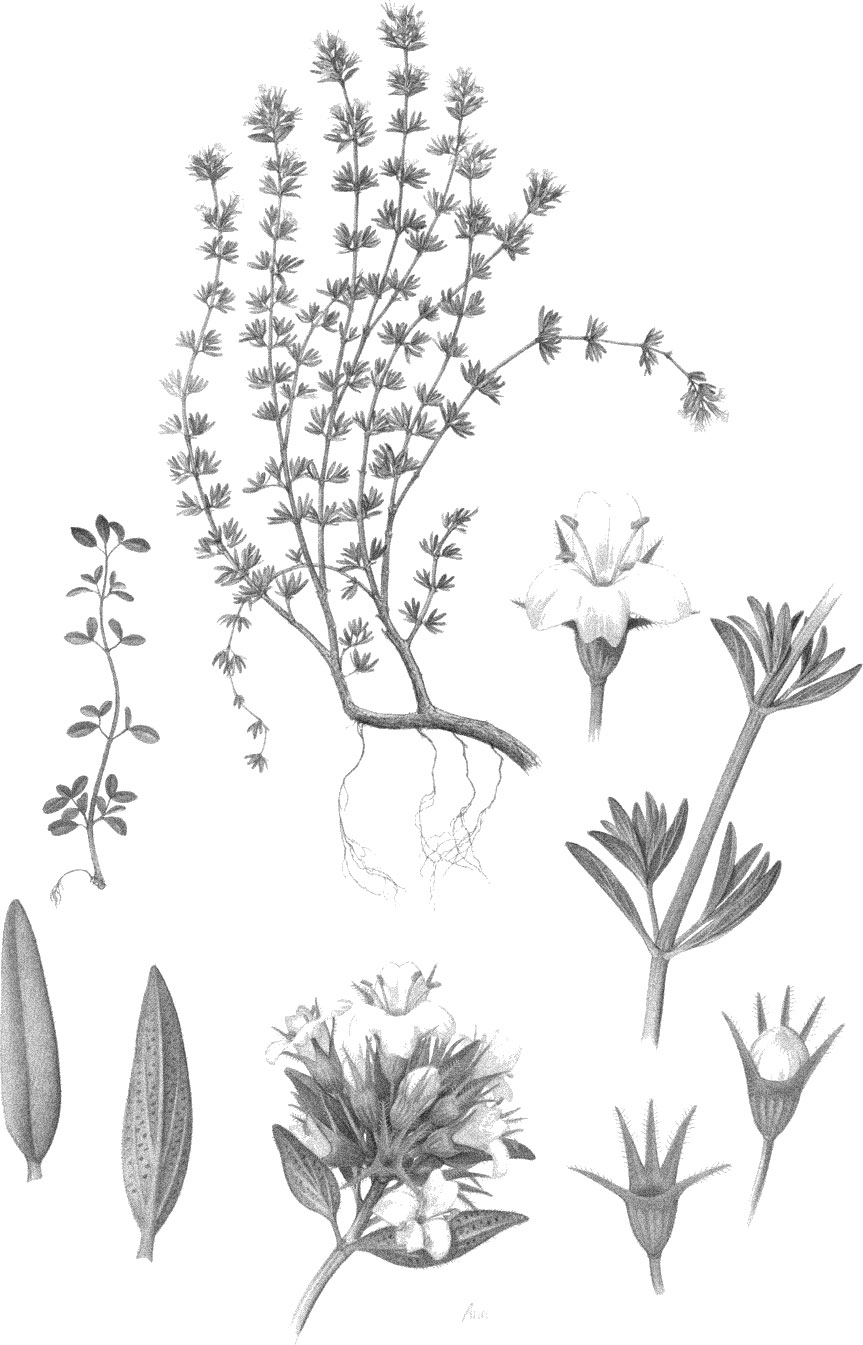 Thyme Plant Drawing  Viewing Gallery