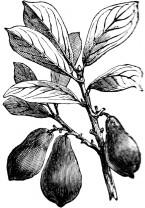 Avocado Pear Carrier Oil