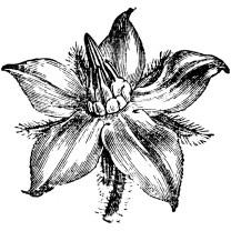 Star flower or Borage Carrier Oil