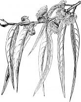 eucalyptus-smithii