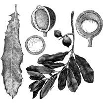 Macadamia Nut Carrier Oil