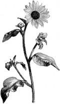 Sunflower Organic Carrier Oil