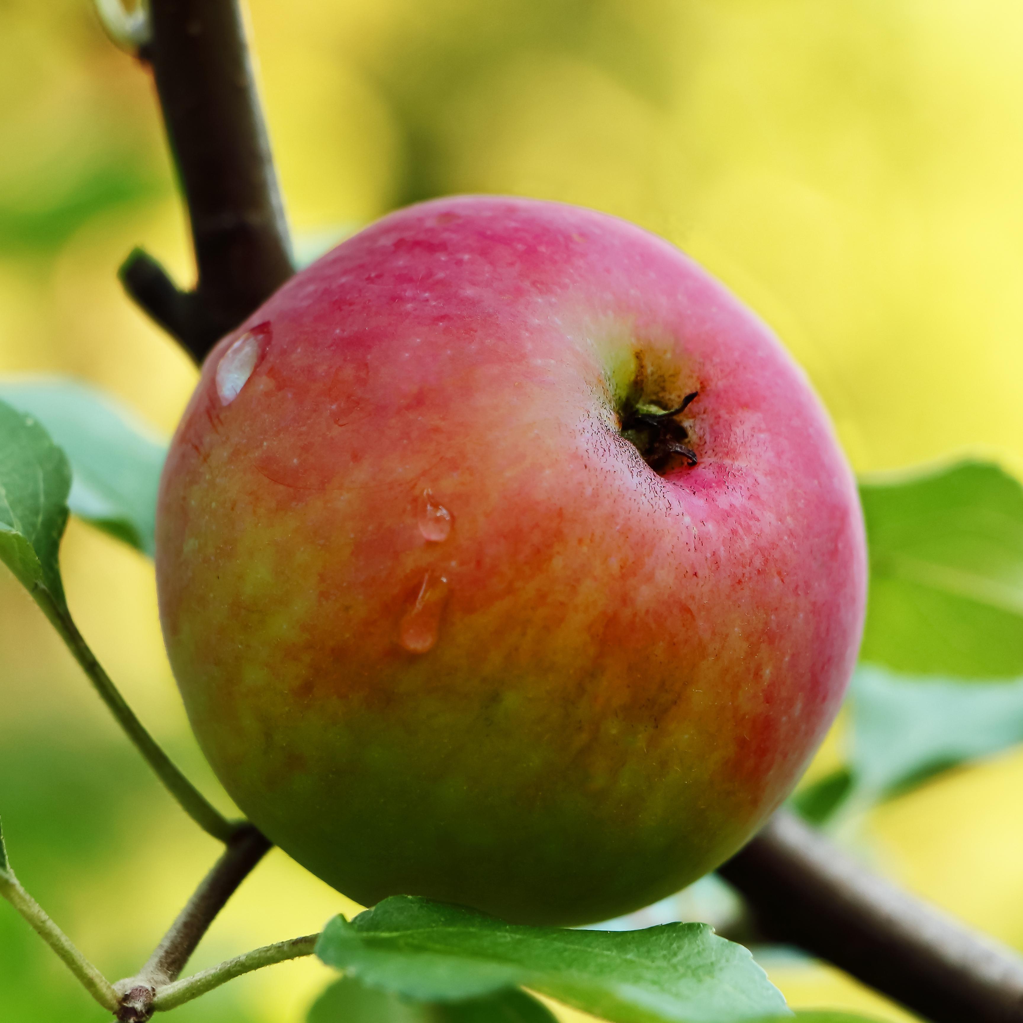 Apple Fragrance Oil