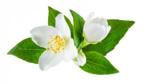 jasmine-flower2